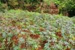 Tapioca Plants