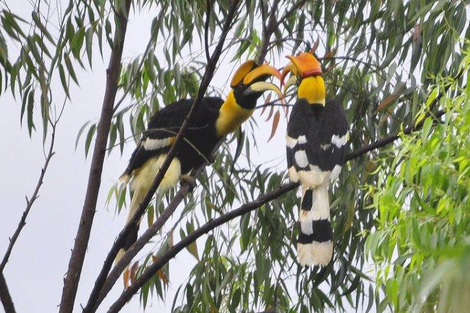 Great Hornbill by Vijaykumar Thonadaman - La Paz Group