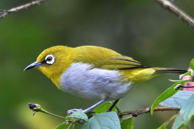 Oriental White-eye by Vijaykumar Thondaman - La Paz Group