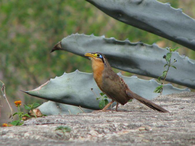 Lesser Ground Cuckoo by Fabián Avellán - La Paz Group
