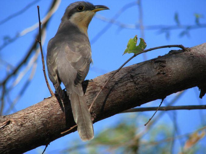 Mangrove Cuckoo by Fabián Avellán - La Paz Group