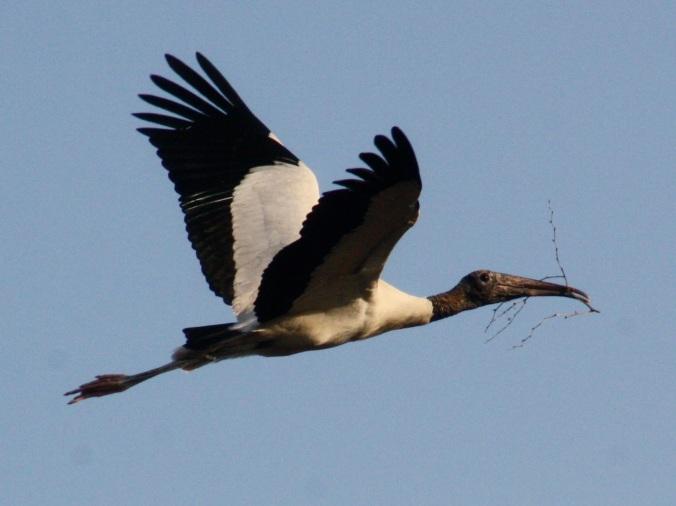 Wood Stork by Ben Barkley - La Paz Group