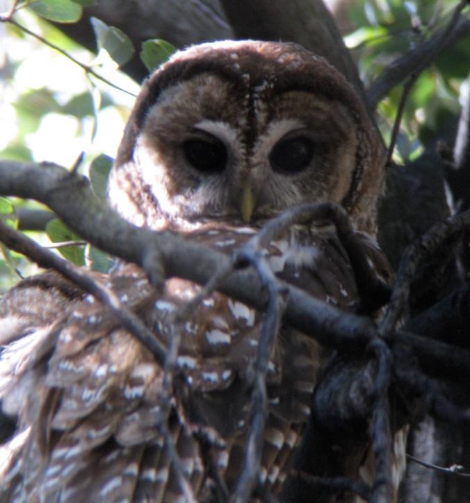 Spotted Owl by Ben Barkley - La Paz Group