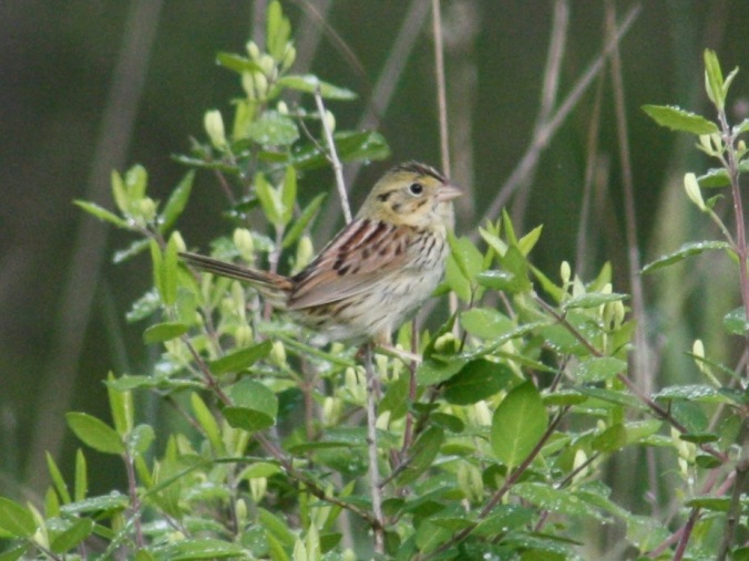 Henslow's Sparrow by Ben Barkley - La Paz Group