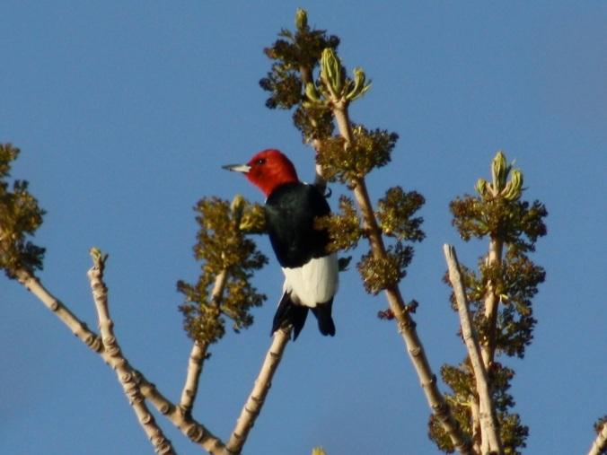 Red-headed Woodpecker by Ben Barkley - La Paz Group