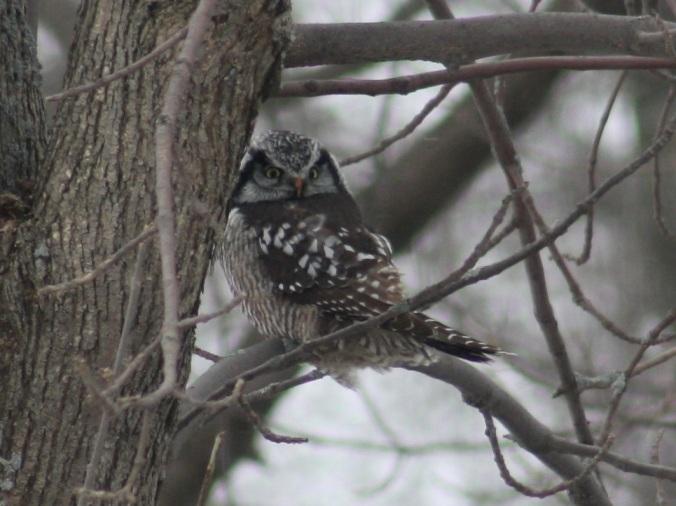 Northern Hawk-Owl by Ben Barkley - La Paz Group