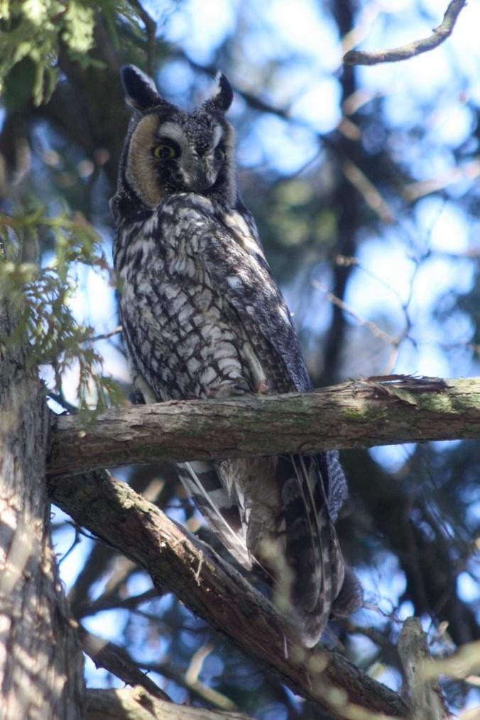 Long-eared Owl by Ben Barkley - La Paz Group