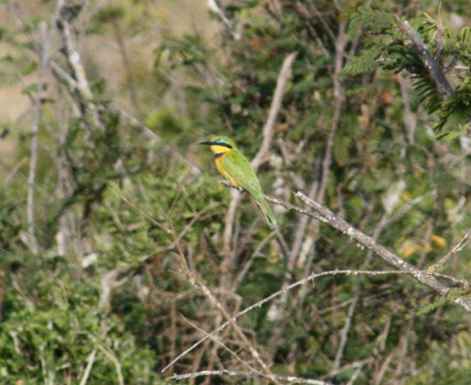 Little Bee-eater by Ben Barkley - La Paz Group