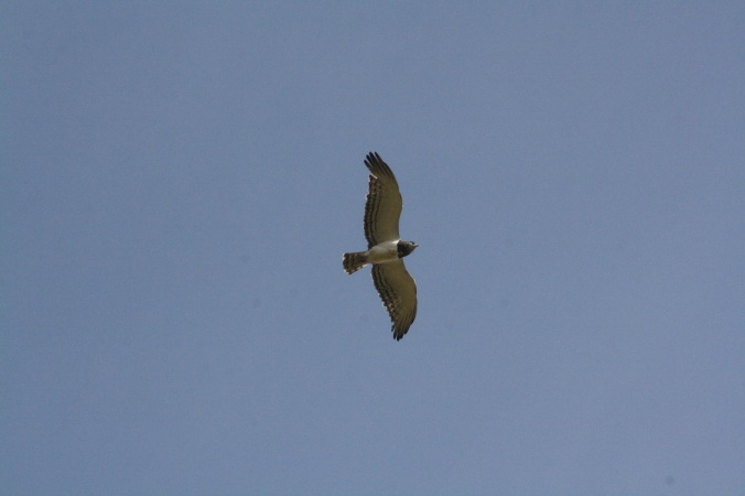 Black-chested Snake-Eagle by Ben Barkley - La Paz Group