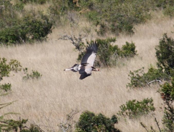 Secretary Bird by Ben Barkley - La Paz Group