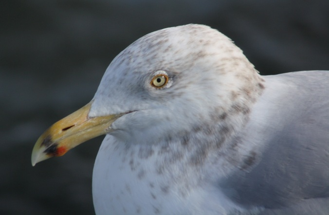 Herring Gull by Ben Barkley - La Paz Group