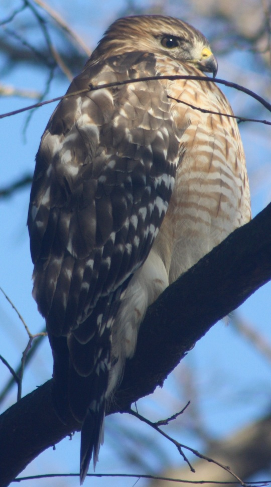 Red-shouldered Hawk by Ben Barkley - La Paz Group