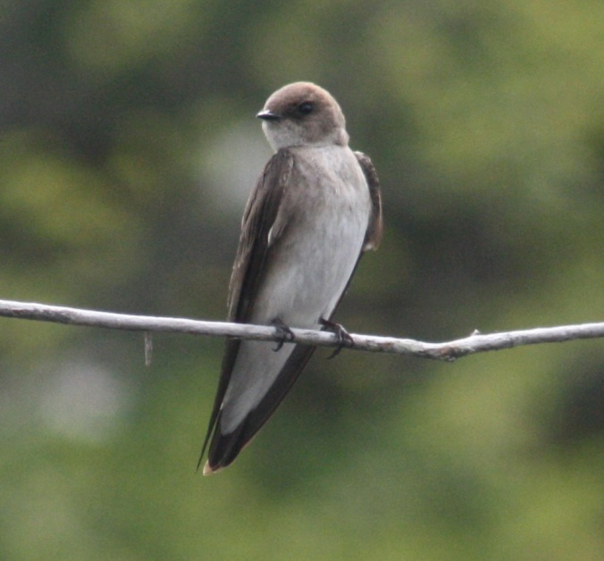 Northern Rough-winged Swallow by Ben Barkley - La Paz Group