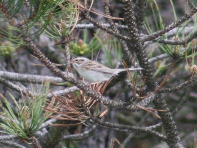Clay-colored Sparrow by Ben Barkley - La Paz Group