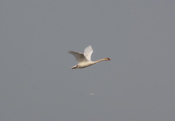 Mute Swan by Ben Barkley - La Paz Group