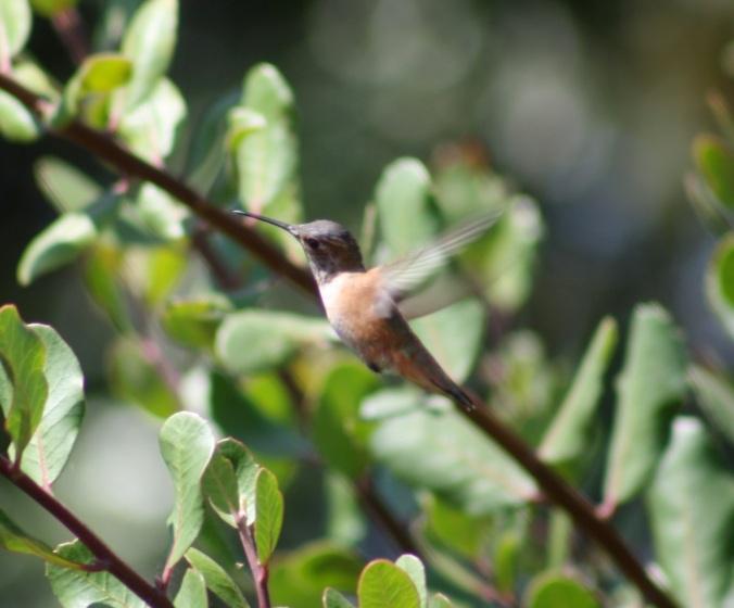 Allen's Hummingbird by Ben Barkley - La Paz Group