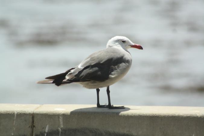 Heerman's Gull by Ben Barkley - La Paz Group