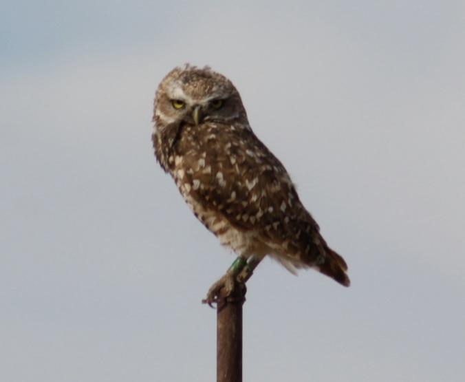 Burrowing Owl by Ben Barkley - La Paz Group
