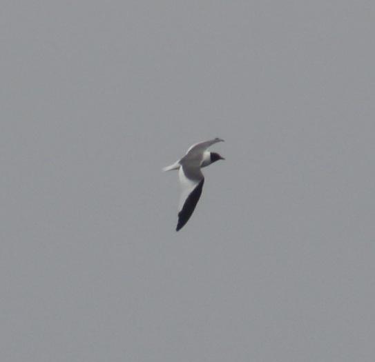 Sabine's Gull by Ben Barkley - La Paz Group