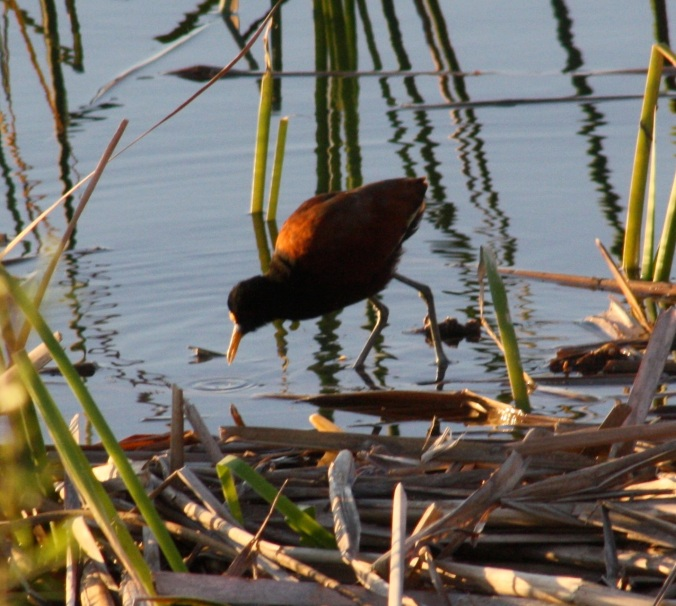 Northern Jacana by Ben Barkley - La Paz Group
