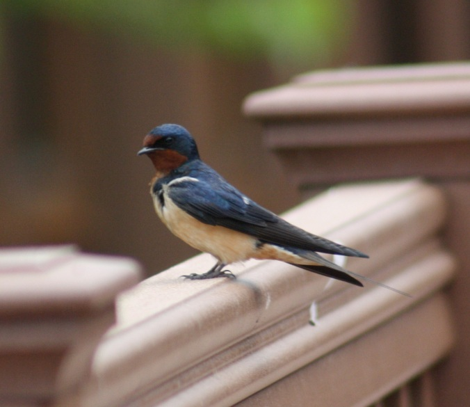 Barn Swallow by Ben Barkley - La Paz Group