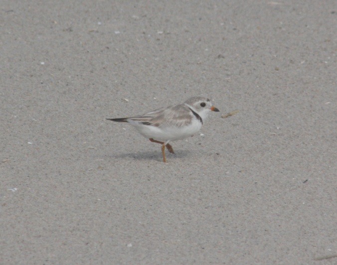 Piping Plover by Ben Barkley - La Paz Group