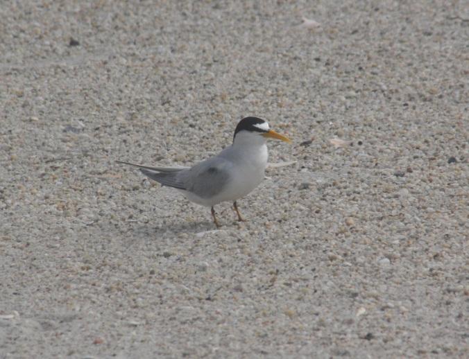 Least Tern by Ben Barkley - La Paz Group