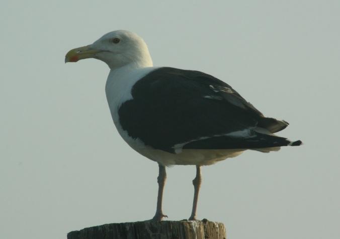Great Black-backed Gull by Ben Barkley - La Paz Group
