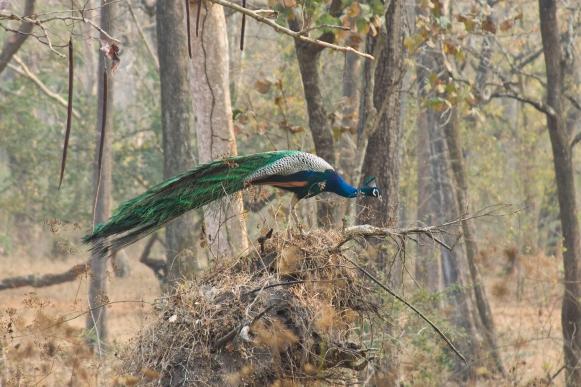 Peacock by Milo Inman - La Paz Group