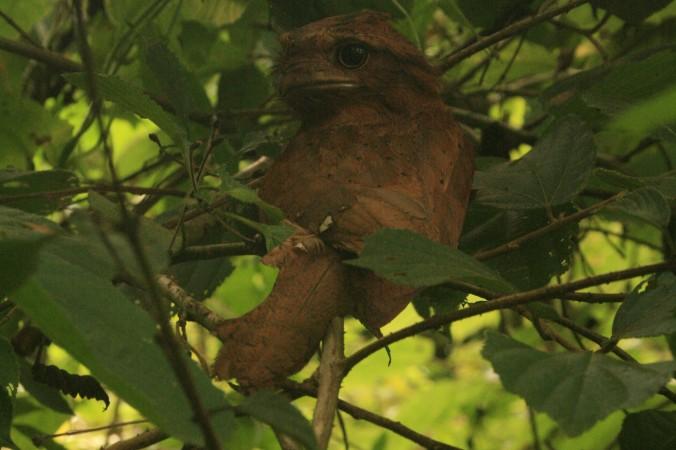 Sri Lankan Frogmouth by Deepthi Pullanikattil Suresh - La Paz Group