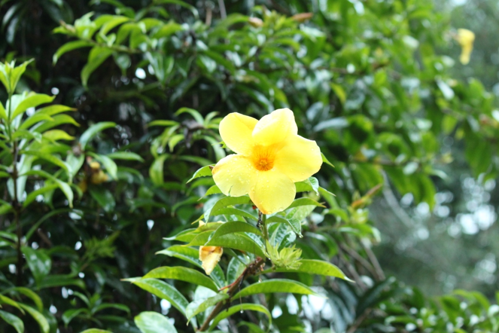 Yellow allamanda golden trumpet la paz group yellow allamanda golden trumpet mightylinksfo