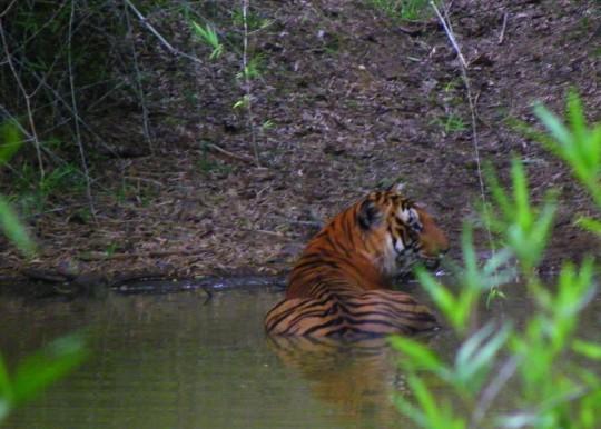 Wwf Wwf Saving Tigers | Home Design Idea