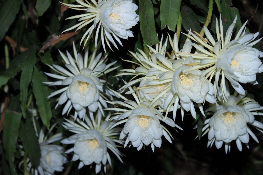 Nishagandhi queen of the night la paz group night blooming cereus is one of the most popular garden flowers commonly found in the hill ranges of indias western ghats a member of the cactus family mightylinksfo
