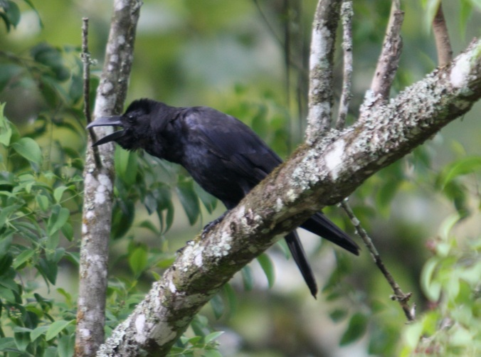 Large-bille Crow by Ben Barkley - La Paz Group