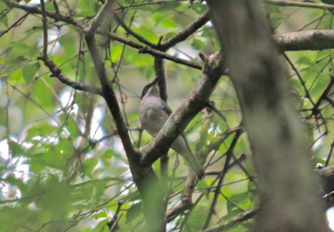 Common Woodshrike by Ben Barkley - La Paz Group