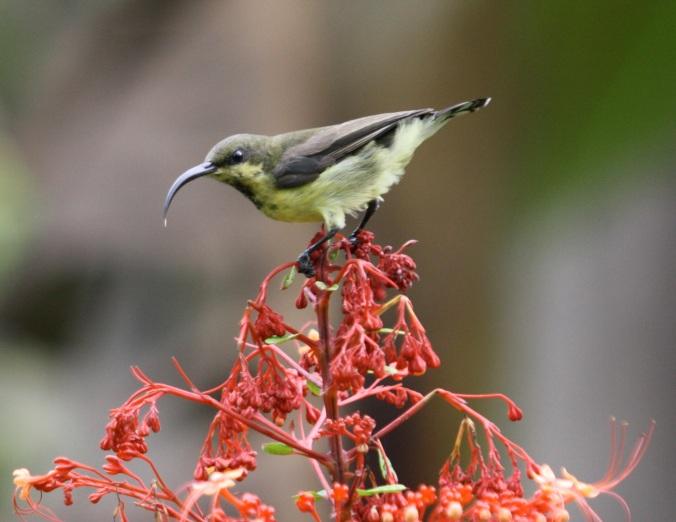 Long-billed Sunbird by Ben Barkley - La Paz Group