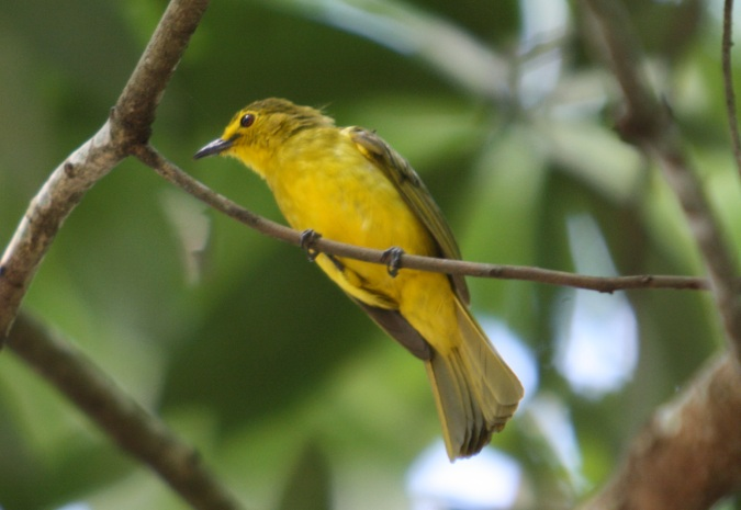 Yellow-browed Bulbul by Ben Barkley - La Paz Group