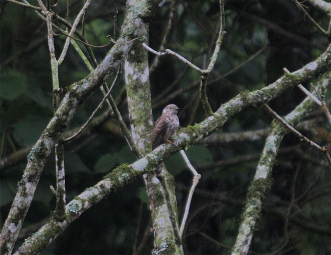 Indian Cuckoo by Ben Barkley - La Paz Group