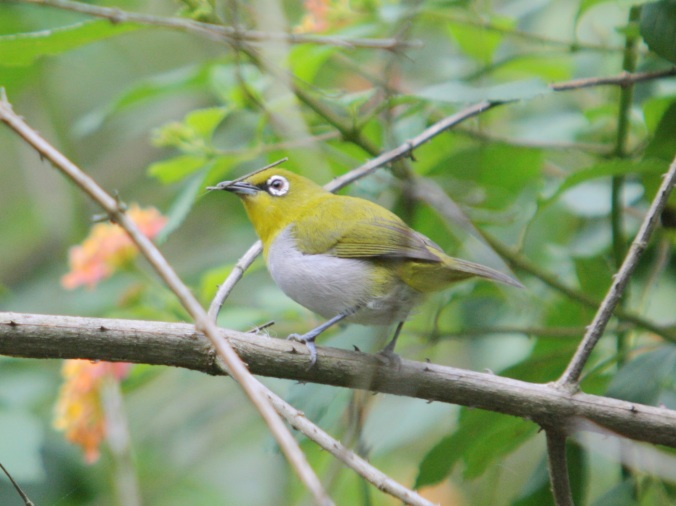 Oriental White-eye by Ben Barkley - La Paz Group