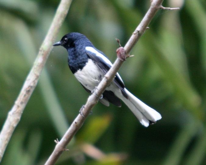 Oriental Magpie-Robin by Ben Barkley - La Paz Group