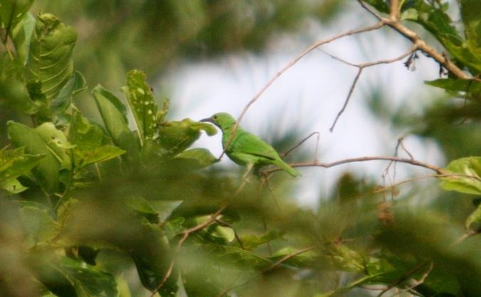 Golden-fronted Leafbird by Ben Barkley - La Paz Group