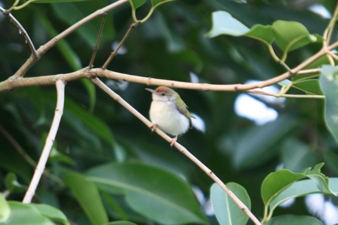 Common Tailorbird by Ben Barkley - La Paz Group