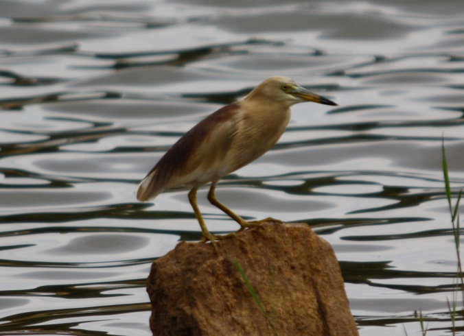 Indian Pond Heron by Ben Barkley - La Paz Group
