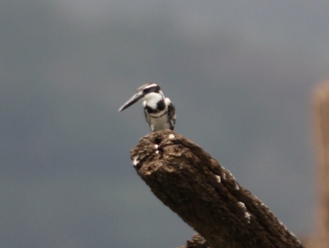 Pied Kingfisher by Ben Barkley - La Paz Group