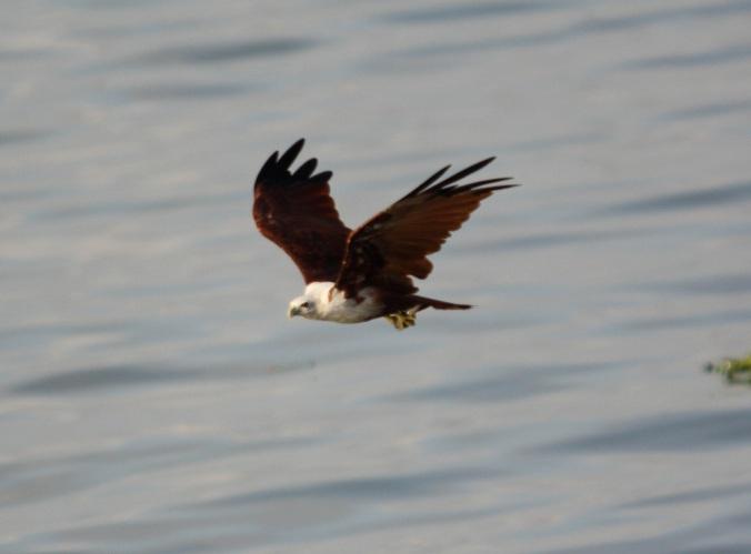 Brahminy Kite by Ben Barkley - La Paz Group