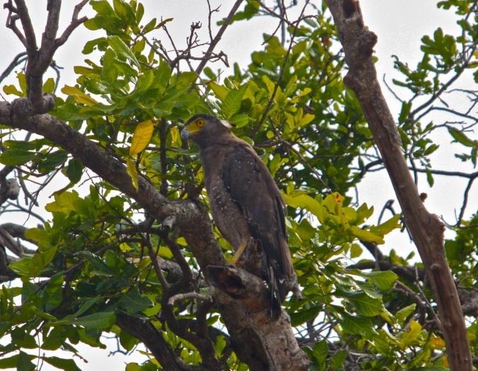 Crested Serpent Eagle by Ben Barkley - La Paz Group