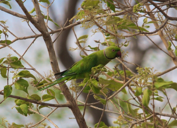 Rose-ringed Parakeet by Ben Barkley - La Paz Group