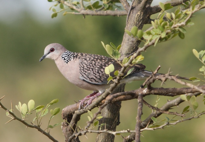 Spotted Dove by Ben Barkley - La Paz Group