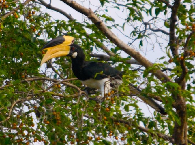 Malabar Pied Hornbill by Ben Barkley - La Paz Group