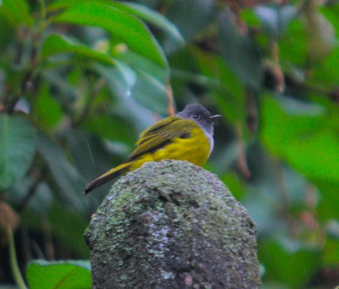 Grey-headed Canary Flycatcher by Ben Barkley - La Paz Group